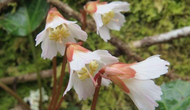 Photo of Oconee Bell flowers