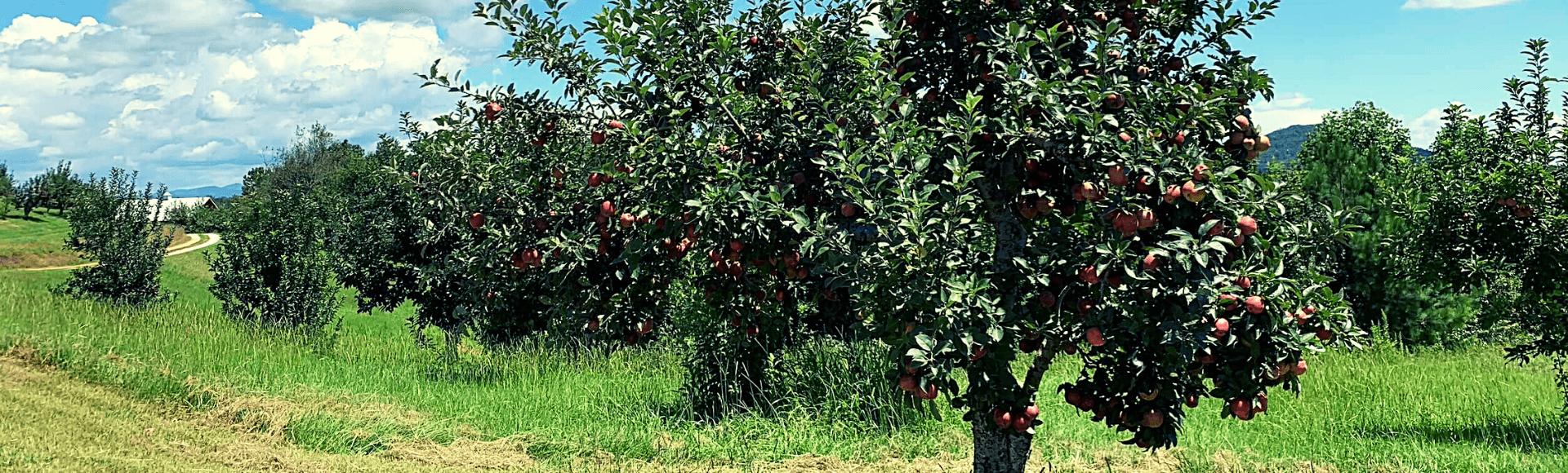 Photo of apple trees